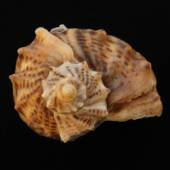 Sea shell on the black backing — Stock Photo