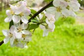 Apple blossom. — Stock Photo