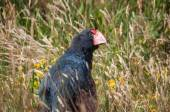 Takahe New Zealand — Stock Photo