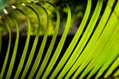 Palm leaves macro green leaves background — Stock Photo