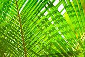 シュロの葉マクロ緑の葉の背景 — ストック写真