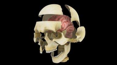 Skull Parts — Stock Video