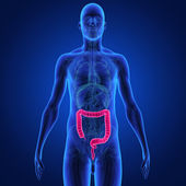 Large intestine — Stock Photo