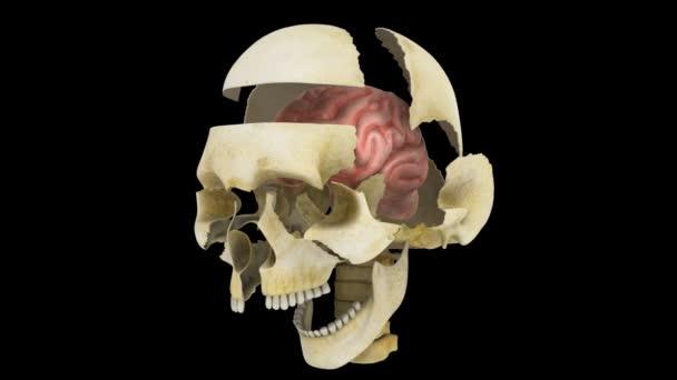 Cráneo — Vídeo de stock