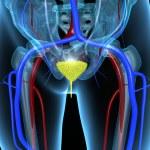 ������, ������: Urinary bladder