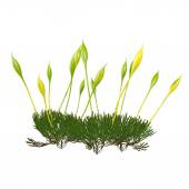 Protonema moss — Stock Photo
