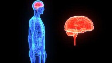Cérebro humano — Vídeo stock
