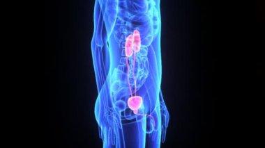 Kidneys — Stock Video
