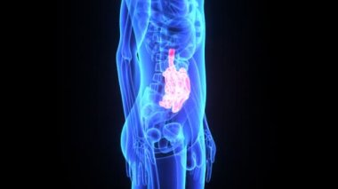 Small intestine — Stock Video
