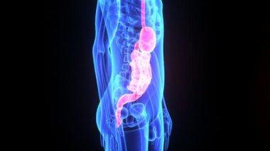 Digestive System — Stock Video