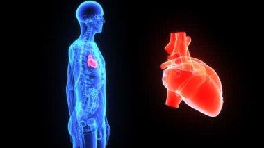 Human Heart — Stock Video
