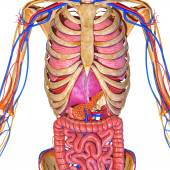 Skeleton and digestive system — 图库照片