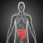 Small and large intestine — Stock Photo