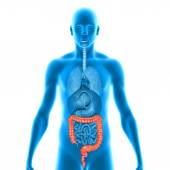 Large intestine — Stock Photo