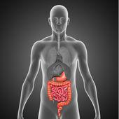 Digestive system — Stock Photo