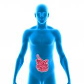 Small intestine — Stock Photo