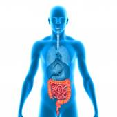 Large and small intestine — Stock Photo