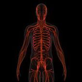 Circulatory System — Stock Photo