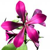 Caesalpiniaceae — Stock Photo