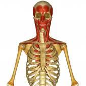 面部肌肉 — 图库照片