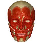 Facial muscles — Stock Photo