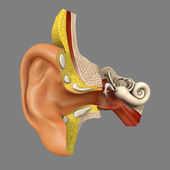 Human Ear Anatomy — Stock Photo