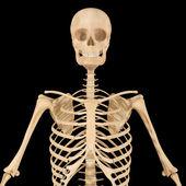 Esqueleto — Foto de Stock