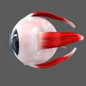 Human Eye anatomy — Stock Photo