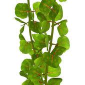 Coccoloba Tree — Stock Photo