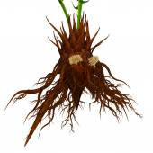 Coralloid roots — Stock Photo