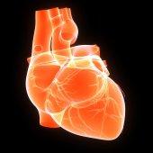 人的心脏 — 图库照片
