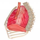 Human Respiratory System — Stock Photo