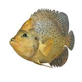Marine Fish — Stock Photo