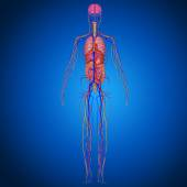 Human Anatomy  on blue background — Foto Stock