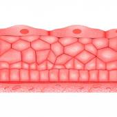 Compound epithelium — Stock Photo