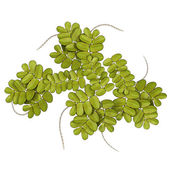 Azolla green leaves — Stock Photo