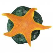 Echinoderms, star fish — Stock Photo
