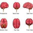 Human brains collection — Stock Photo #75126463