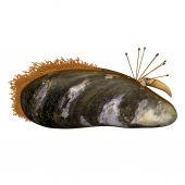 ムラサキイガイ シェル、軟体動物 — ストック写真