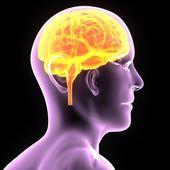 Human Brain, Human Anatomy — Stock Photo