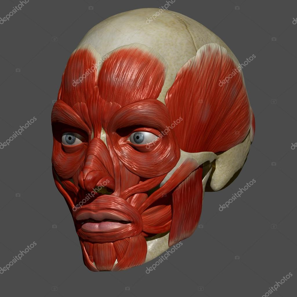 Схема лица с мимическими мышцами