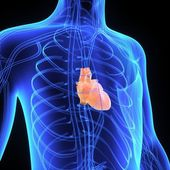 Human heart anatomy — Stock Photo