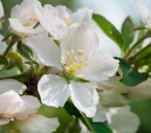 Apple flower, closeup — Stock Photo