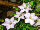 Clematis flowers. flora — Stock Photo