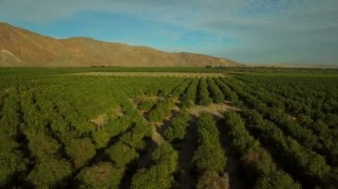 Grapefruit orchards in Southern California — Stock Video