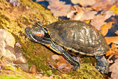 Turtle red-hooting — Stock Photo