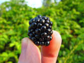 Ripe blackberry in a pinch — Stock Photo