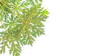 Papaya leaf — Stock Photo