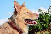 Promener le chien en montagne — Photo