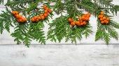 Christmas frame with fir tree and rowan berry  — Stock Photo